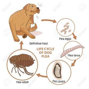 Flea lifecycle