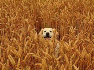 Dog in wheat field